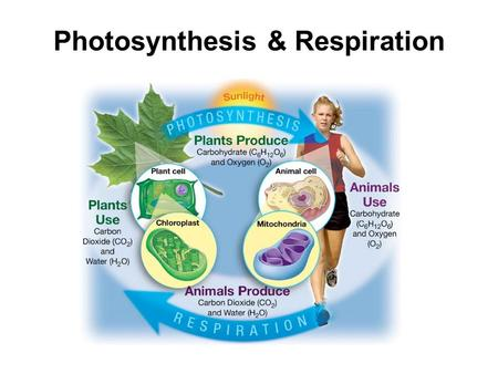 Photosynthesis & Respiration. Cell Energy (Photosynthesis and Respiration) Energy: Energy for living things comes from food. Originally, the energy in.