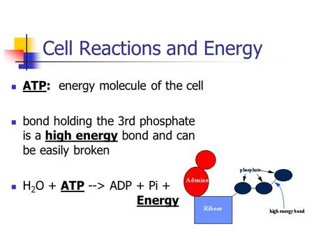 Cell Reactions and Energy ATP: energy molecule of the cell bond holding the 3rd phosphate is a high energy bond and can be easily broken H 2 O + ATP -->