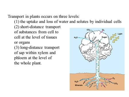 Transport in plants occurs on three levels: