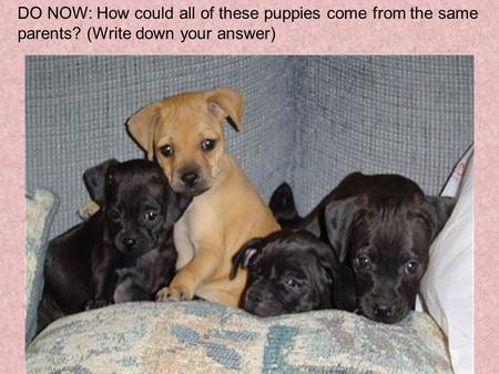 DO NOW: How could all of these puppies come from the same parents? (Write down your answer)