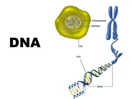 DNA. History of DNA Early scientists thought protein was the cell's hereditary material because it was more complex than DNA Proteins were composed of.