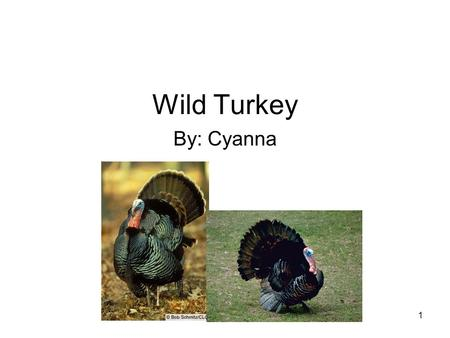 1 Wild Turkey By: Cyanna. 2 TABLE OF CONTENTS MEET THE WILD TURKEY.….3 HOME SWEET HOME ….. 4 DINNER TIME……………..5 ANIMAL ADAPTATIONS…6 LABELS…………………….7.