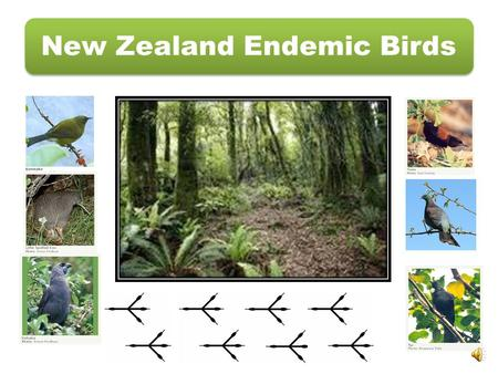 New Zealand Endemic Birds. Pukaha Mount Bruce Wildlife CentreDOC's work with kōkako South Island kōkako has orange or yellow wattles The North Island.