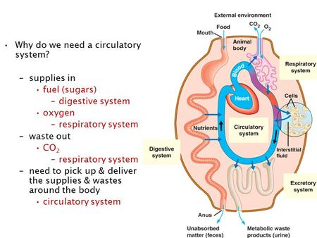 Why do we need a circulatory system? –supplies in fuel (sugars) –digestive system oxygen –respiratory system –waste out CO 2 –respiratory system –need.