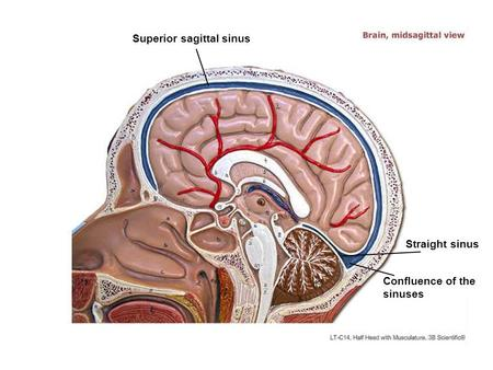 Superior sagittal sinus Straight sinus Confluence of the sinuses.