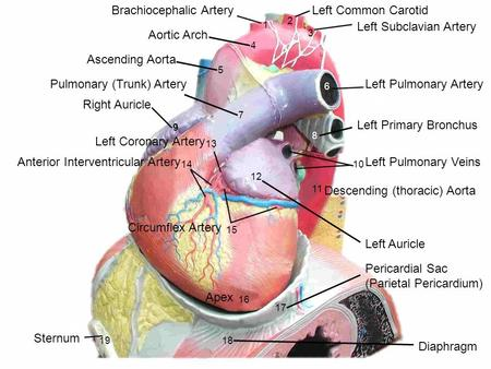 1 2 3 4 5 6 7 8 9 10 11 12 13 14 15 16 17 1819 Brachiocephalic ArteryLeft Common Carotid Left Subclavian Artery Aortic Arch Ascending Aorta Left Pulmonary.