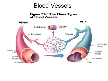 Figure 37-5 The Three Types of Blood Vessels Capillary Connective tissue Smooth muscle Endothelium Valve Venule Endothelium Arteriole Vein Artery Blood.