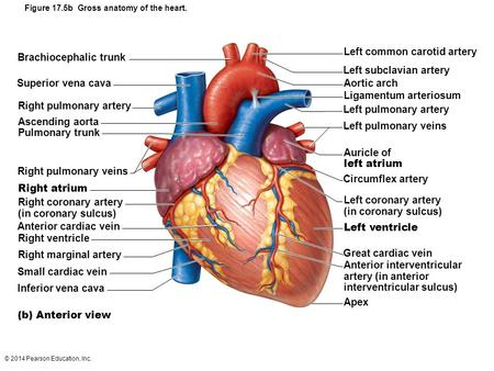 Figure 17.5b Gross anatomy of the heart.
