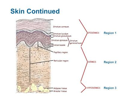 Skin Continued Region 1 Region 2 Region 3. Dermis (Region 2) Structure – Collagen and elastic fibers located throughout the dermis Collagen fibers give.