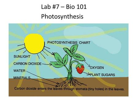 Lab #7 – Bio 101 Photosynthesis. Reminder: Photosynthesis is the opposite of respiration Endergonic – absorbing energy Transforms radiant energy to chemical.