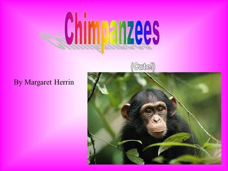 By Margaret Herrin Chimpanzees are chubby. Chimpanzees have black and brown hair all life long. Chimpanzees faces are light pink with a little beard.