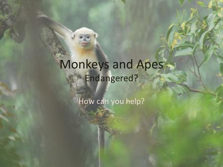 Monkeys and Apes Endangered? How can you help?. Who's endangered? Global Warming puts just about every one of the 28,270 known animals at risk of becoming.