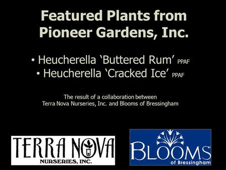 Featured Plants from Pioneer Gardens, Inc. Heucherella 'Buttered Rum' PPAF Heucherella 'Cracked Ice' PPAF The result of a collaboration between Terra Nova.