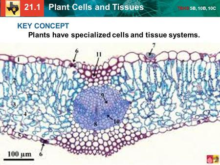 21.1 Plant Cells and Tissues TEKS 5B, 10B, 10C KEY CONCEPT Plants have specialized cells and tissue systems.