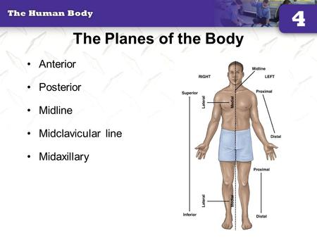 The Planes of the Body Anterior Posterior Midline Midclavicular line