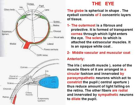 THE EYE The globe is spherical in shape. The eyeball consists of 3 concentric layers of tissue. 1- The outermost is a fibrous and protective. It is formed.