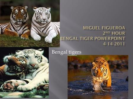 Bengal tigers.  Bengal tigers dwell in tropical jungles, brush, marsh lands, and tall grasslands in fragmented areas of Bangladesh, Nepal, India, Bhutan,