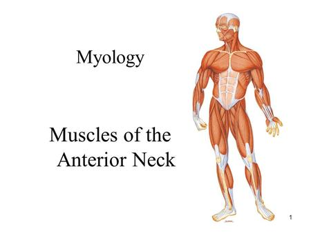 1 Myology Muscles of the Anterior Neck. 2 Muscles of the Neck Overview Muscle of neck are divided into two groups: –Anterior Superficial (2) Hyoids –Infrahyoids.
