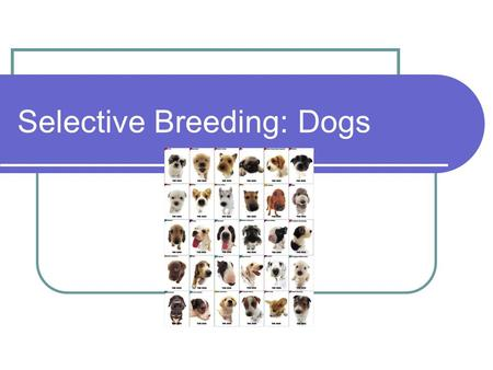 Selective Breeding: Dogs. What is Selective Breeding? Selective breeding in plants and domesticated animals is the process of developing a breed over.