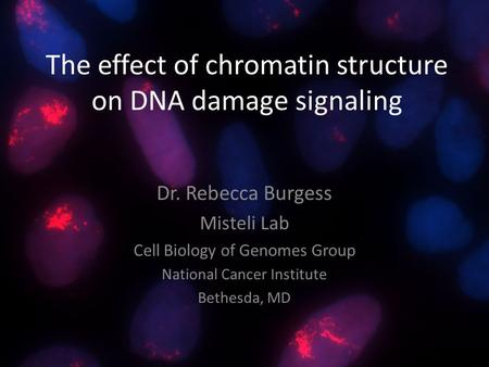 The effect of chromatin structure on DNA damage signaling Dr. Rebecca Burgess Misteli Lab Cell Biology of Genomes Group National Cancer Institute Bethesda,