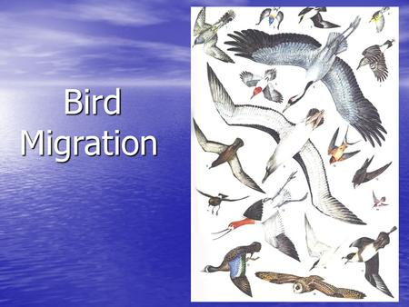 Bird Migration Bird Migration. Why Migrate? Escape from Escape from -bad weather -bad weather -lack of food -lack of food Major North American Flyways.