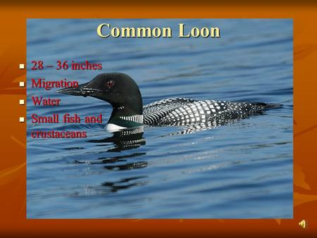 Common Loon 28 – 36 inches 28 – 36 inches Migration Migration Water Water Small fish and crustaceans Small fish and crustaceans.