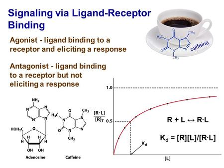 Caffeine Signaling via Ligand-Receptor Binding Agonist - ligand binding to a receptor and eliciting a response Antagonist - ligand binding to a receptor.