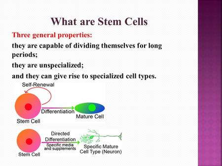What are Stem Cells Three general properties: they are capable of dividing themselves for long periods; they are unspecialized; and they can give rise.