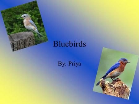 Bluebirds By: Priya. Fast facts about bluebirds Diet: Omnivore Lifespan in the wild: 6-10 years Size: 6.5-8.5 inches Weight:.84-1.09 ounces Types: Eastern,