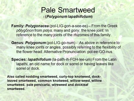 Pale Smartweed ( (Polygonum lapathifolium) Family: Polygonacea (pol-LIG-gon-a-see-ee) – From the Greek pŏlygŏnon from polys, many and gony, the knee joint.