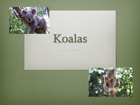 Koalas By: Reese E.. Table of Contents Introduction: page 2 Chapter 1:About Koalas page 3 Chapter 2:What Koalas Eat page 4 Chapter 3:Koala Predators page.