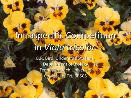 IntraspecificCompetition inViolatricolor Intraspecific Competition in Viola tricolor. B.R. Bird, Undergrad Student, Department of Biology Tennessee Tech.