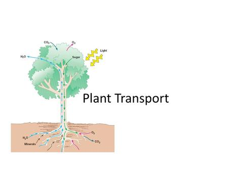Plant Transport. Stem Tissues: An Indepth Look Nodes: where the leaf meets the stem. Internodes: space between the nodes. Analogy: like your joints.