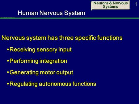 Neurons & Nervous Systems 1 Human Nervous System Nervous system has three specific functions  Receiving sensory input  Performing integration  Generating.