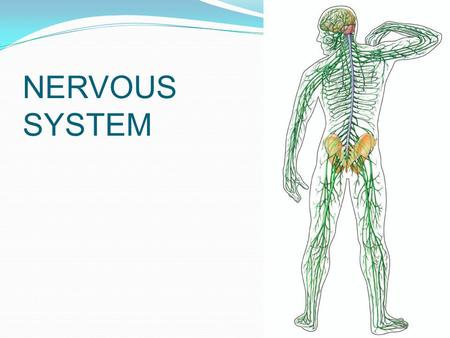 NERVOUS SYSTEM. Figure 49.4 Central nervous system (CNS) Brain Spinal cord Peripheral nervous system (PNS) Cranial nerves Ganglia outside CNS Spinal nerves.