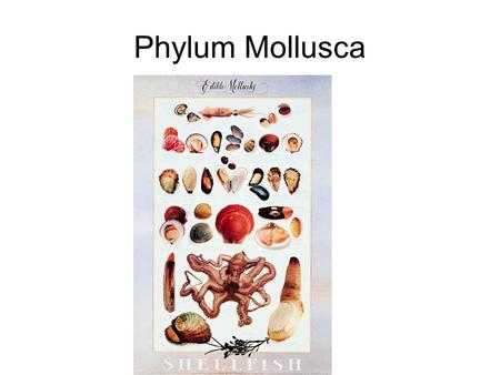 Phylum Mollusca. ___________________ symmetry Body Cavity - ___________________ Body has three distinct regions –_________________ - central section,