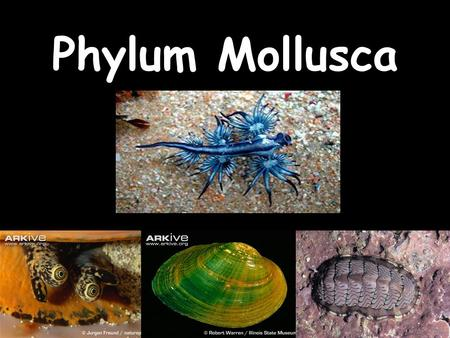 LABORATORIO Phylum Mollusca. Goals for today Learn to recognized the Phylum Mollusca from other animals Learn the main 'diagnostic' characteristics Learn.