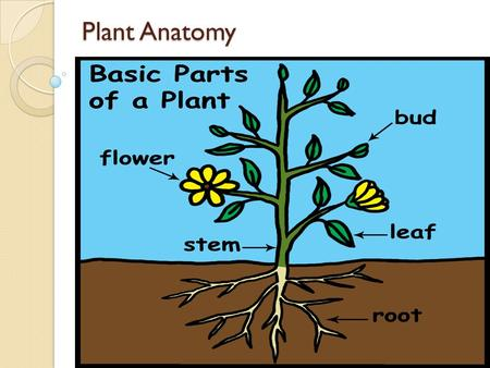 Plant Anatomy. Flower: Is for reproduction. - It has the plant's sexual organs Stem: Supports the plant and carries water and nutrients Leaves: Receive.