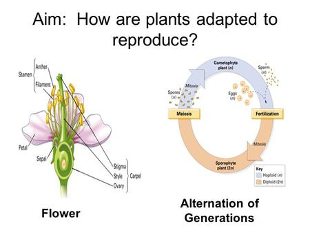 Aim: How are plants adapted to reproduce? Flower Alternation of Generations.