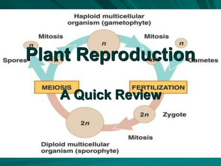 Plant Reproduction A Quick Review. Plants alternate generations. - Gametophyte - haploid plant which produces gametes - gametes - haploid cells which.
