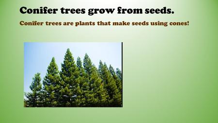 Conifer trees grow from seeds. Conifer trees are plants that make seeds using cones!