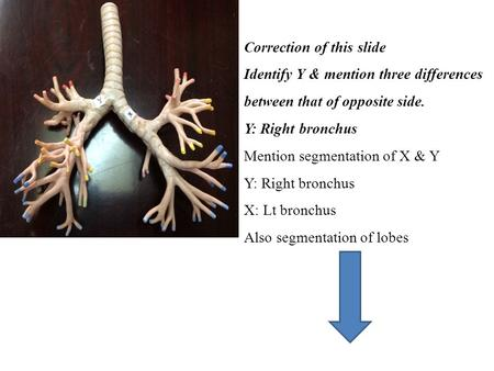 Correction of this slide Identify Y & mention three differences between that of opposite side. Y: Right bronchus Mention segmentation of X & Y Y: Right.