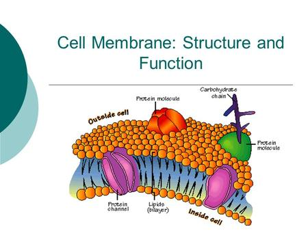 Cell Membrane: Structure and Function. In or Out?  1. What are some things that can pass through a window screen?  2. What are some things that cannot.