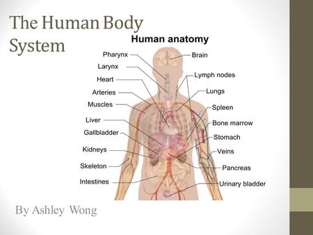 The Human Body System By Ashley Wong. This is the Digestive System. The system processes food so you can use it for energy. The food that you eat enters.