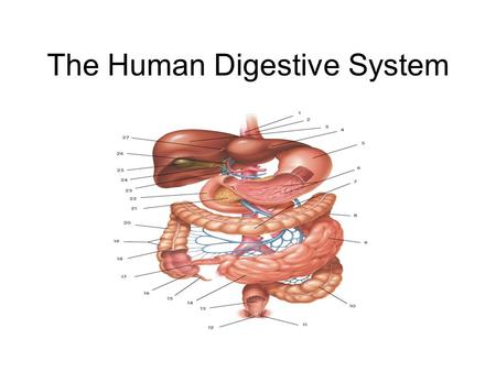 The Human Digestive System. The Mouth Structure: see diagram Function: Ingest and Digest Ingestion - the teeth and tongue (taste buds) take in the appropriate.