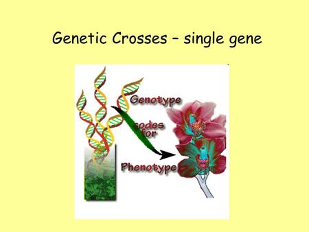 Genetic Crosses – single gene. Genotype and PhenotypeGenotype and Phenotype –Genotype is the genetic makeup of the organism. –Phenotype is the physical.
