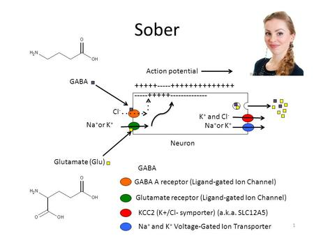 Sober +++++-----++++++++++++++ -----+++++-------------- Neuron Cl - Na + or K + GABA A receptor (Ligand-gated Ion Channel) GABA Glutamate (Glu) Action.