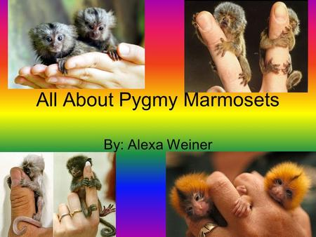 All About Pygmy Marmosets By: Alexa Weiner DANGER Eagles, snakes and wild cats eat Marmosets. Marmosets will make a chorus of chirps as a warning sign.