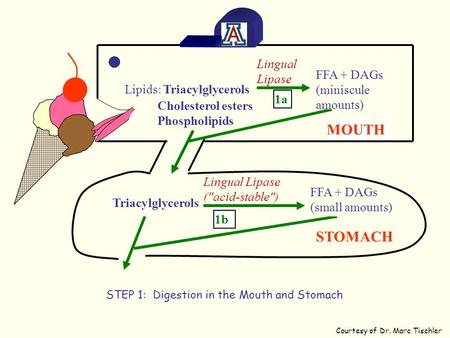 MOUTH Lipids: Triacylglycerols Cholesterol esters Phospholipids Triacylglycerols STOMACH FFA + DAGs (small amounts) Lingual Lipase (acid-stable) 1b FFA.