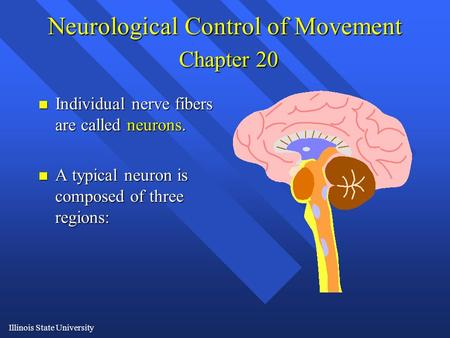 Illinois State University Neurological Control of Movement Chapter 20 n Individual nerve fibers are called neurons. n A typical neuron is composed of three.